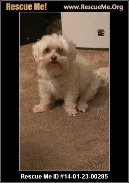 Florida Maltese Rescue Adoptions Rescueme Org Maltese Maltese Dogs Post Animal