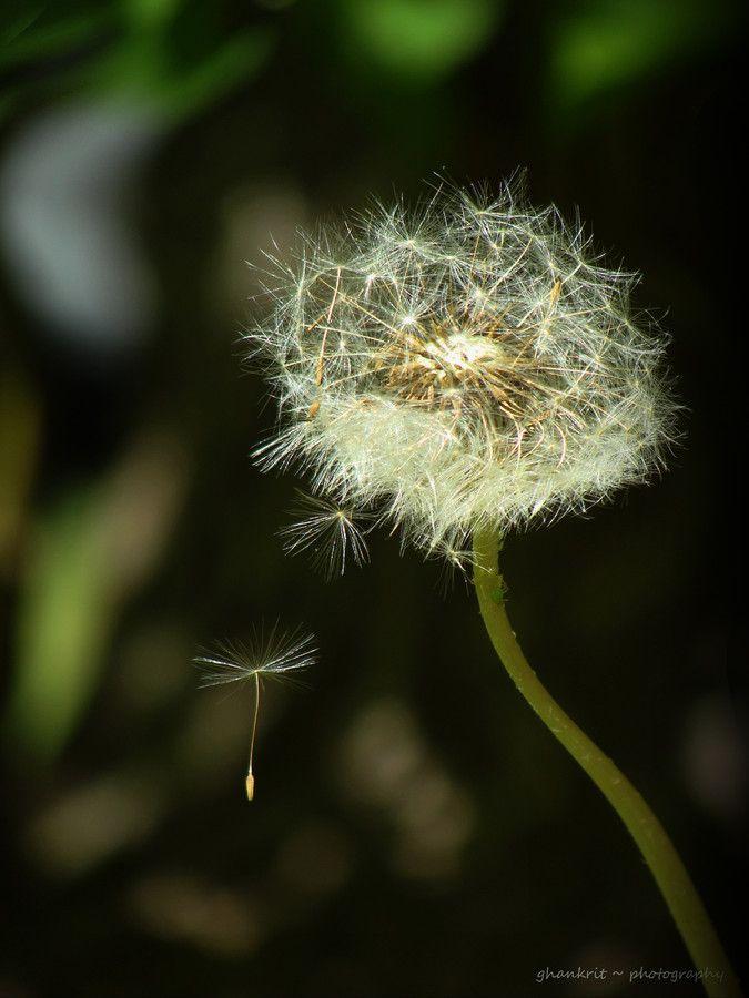 Blow Then Wish Dandelion Dandelion Wish Dandelion Clock