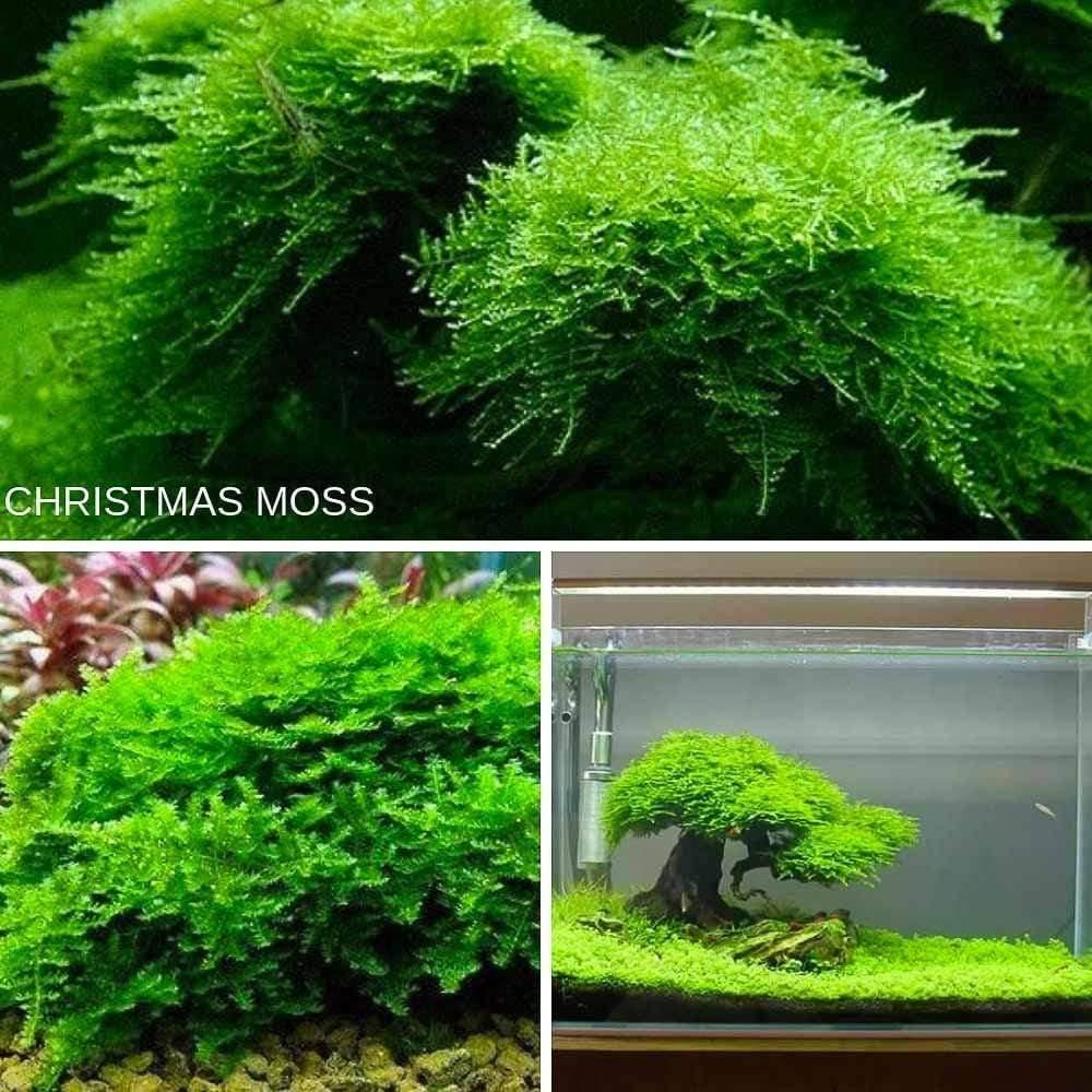 Christmas Moss - Vesicularia Montagnei - Microaquaticshop.com.au – Micro Aquatic Shop #bettafish ...
