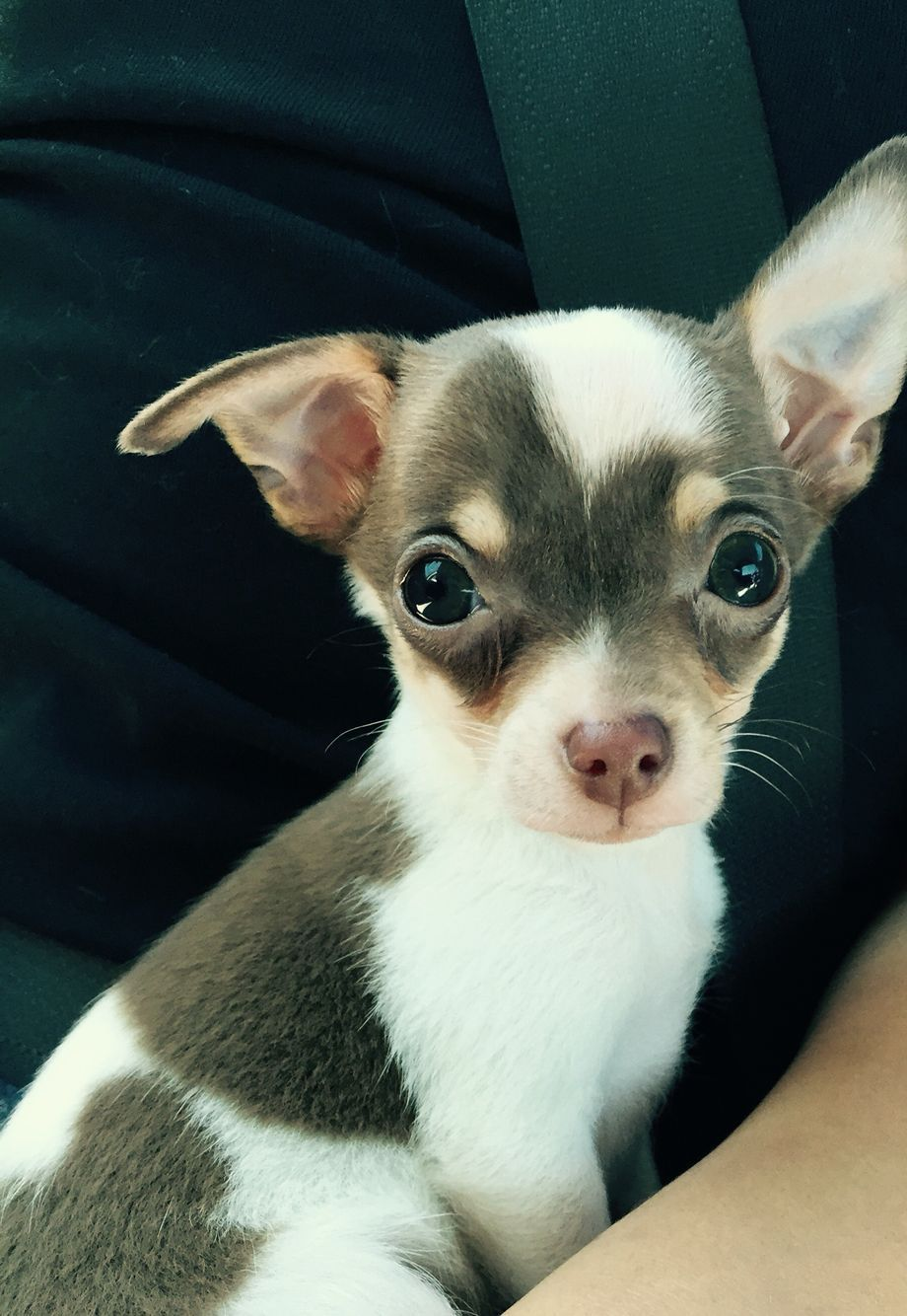 Dobs When Are Your Ears Going Up Chihuahua Chihuahua Puppies