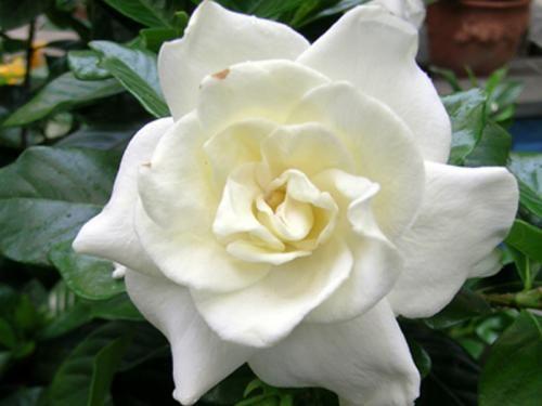 (Gardenia jasminoides) Chuck Hayes Gardenia | United States Botanic Garden