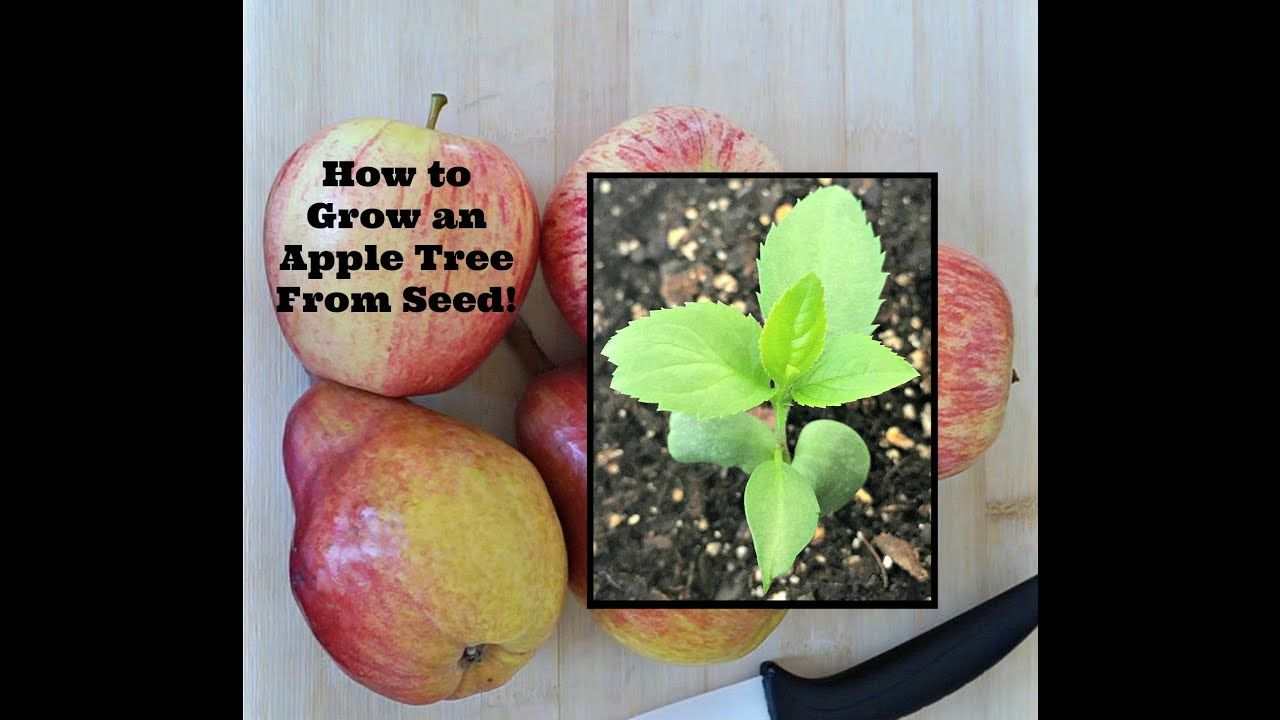 How to Grow an Apple Tree From Seed! Apple seeds grow