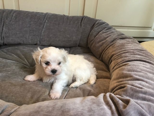 Ethan Maltese Puppies, Puppies near me, Cheap puppies