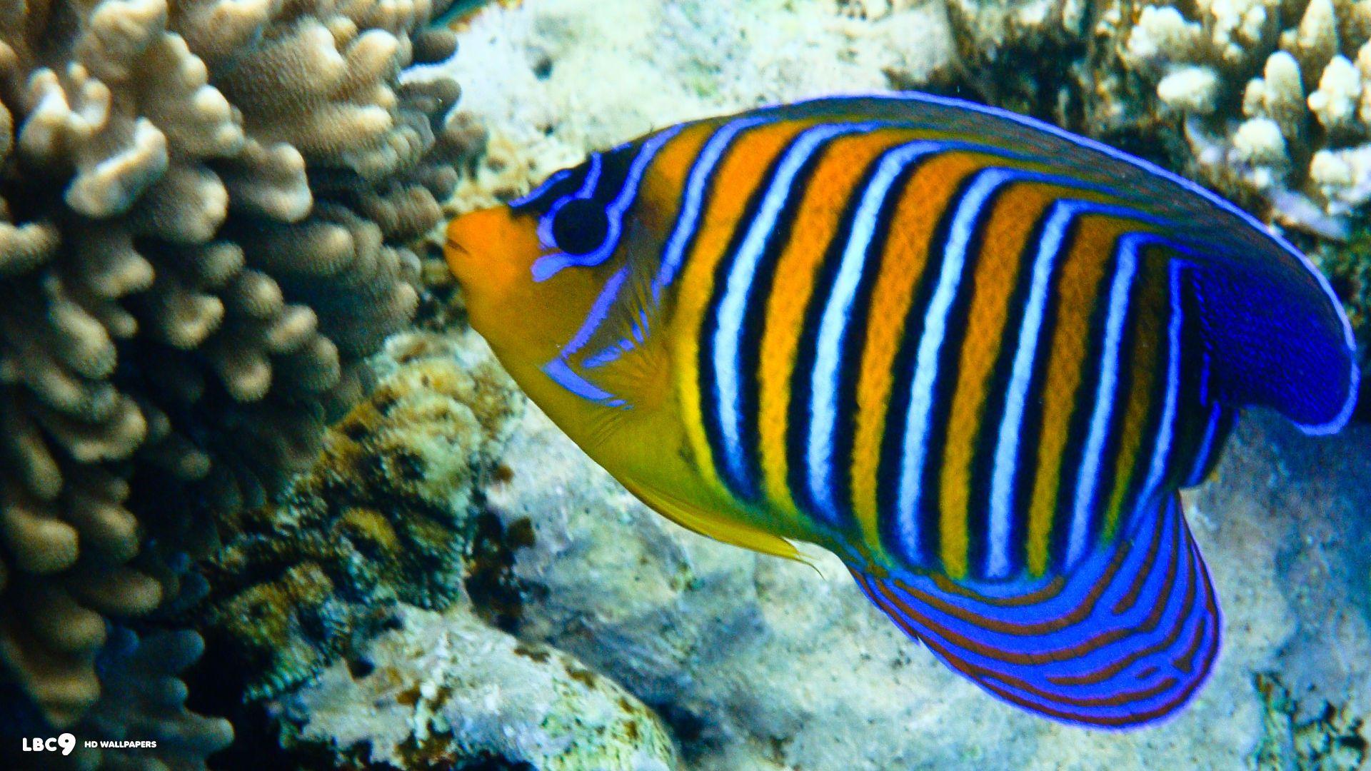 Regal Angelfish Google Search Peces