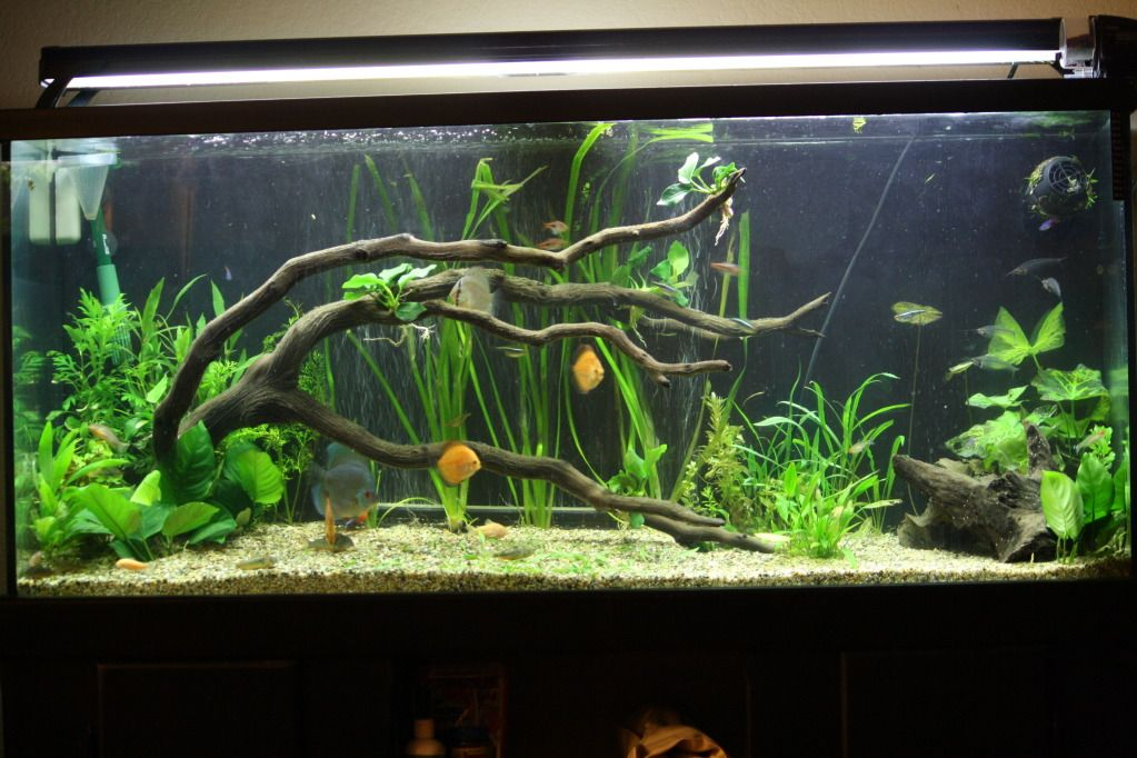 75 Gallon Planted Tank Driftwood Thread Discus Remodel Aquarium