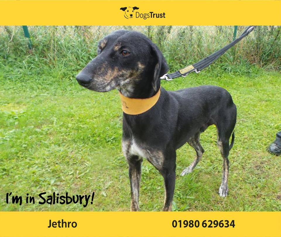 Jethro Is A Very Loving 9 Month Old Lurcher From Salisbury He Is