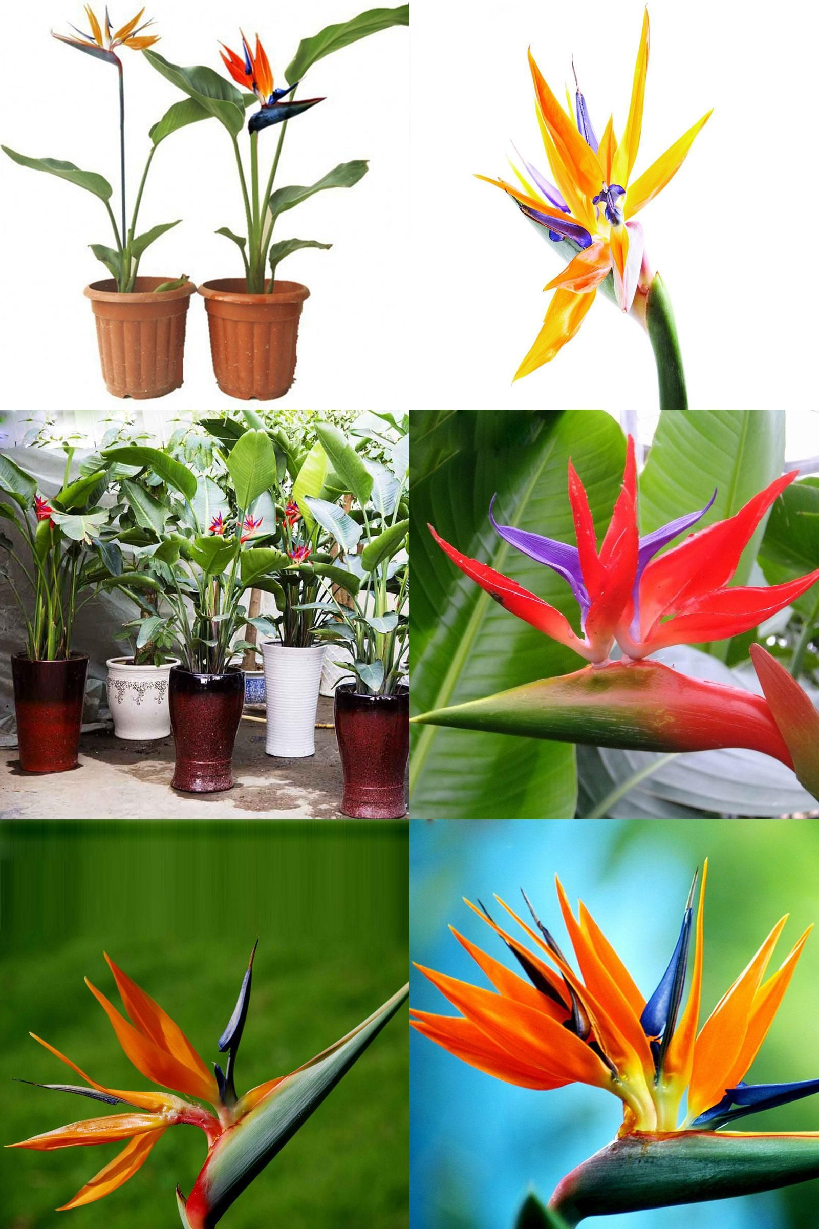 Birds Of Paradise Can Be Propagated Through Division Or Seeds Birds Of Paradise Plant Birds Of Paradise Flower Birds Of Paradise