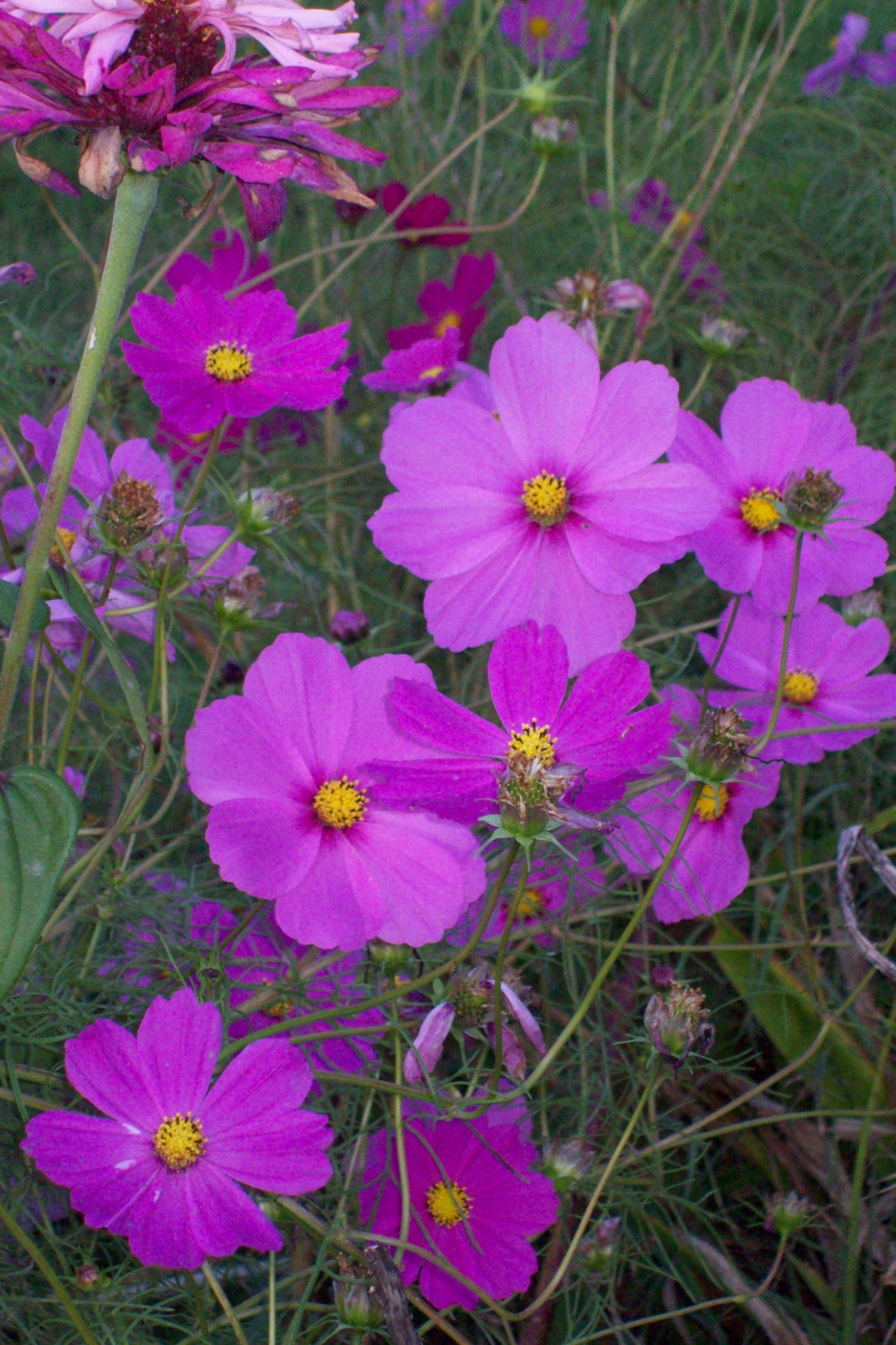 Cosmos Another Airy Plant That Dances In The Breeze Liked It In My Beds Easy To Grown From Seed And Great F Cosmos Flowers Love Flowers Beautiful Flowers