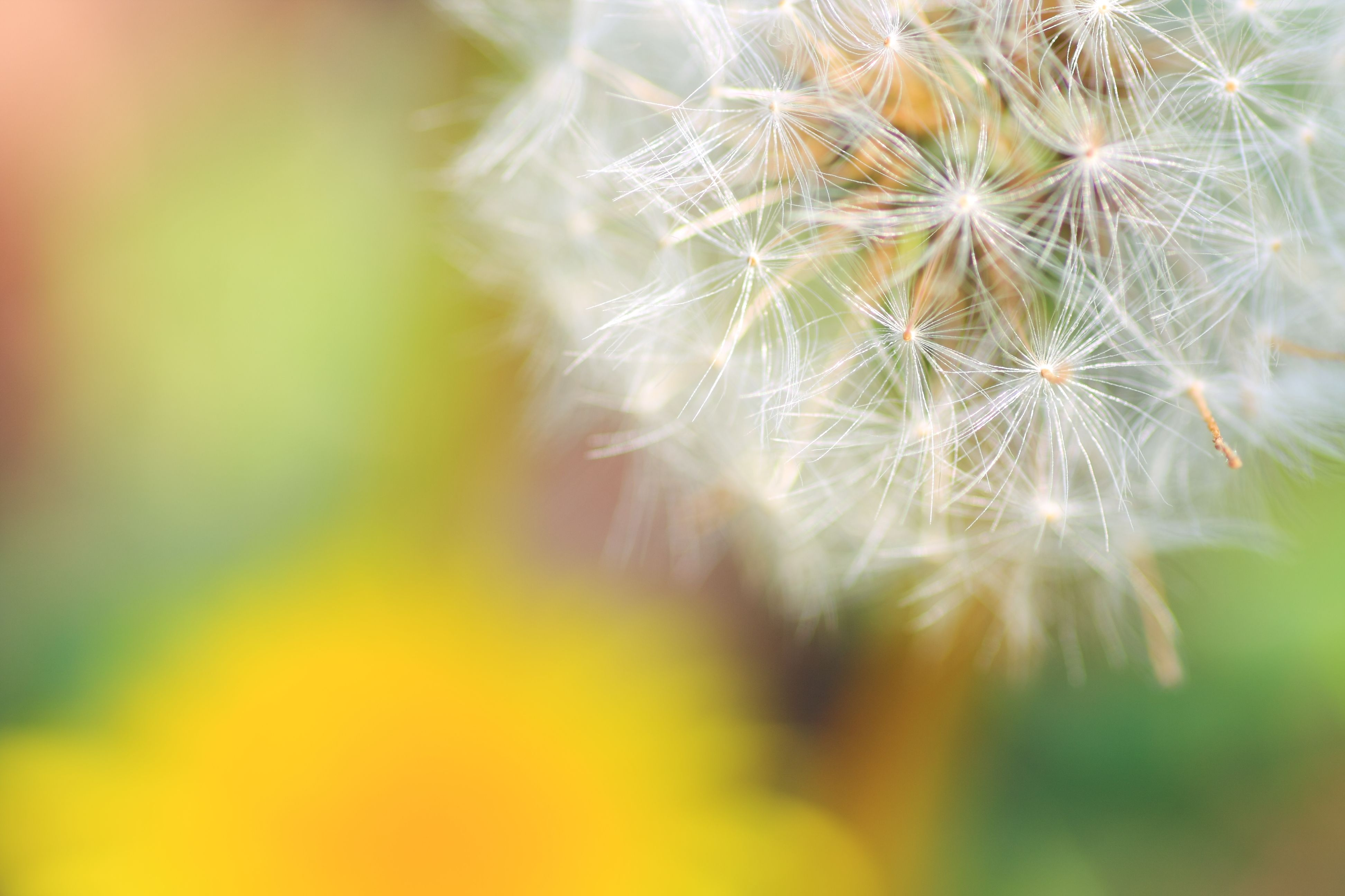 Dandelion Is Steeped In Symbolic Meaning Including Vitality Life And Purity As A Symbol Of The Sun For Both Its Fiery Color And Its Na Dandelion Psd Flowers