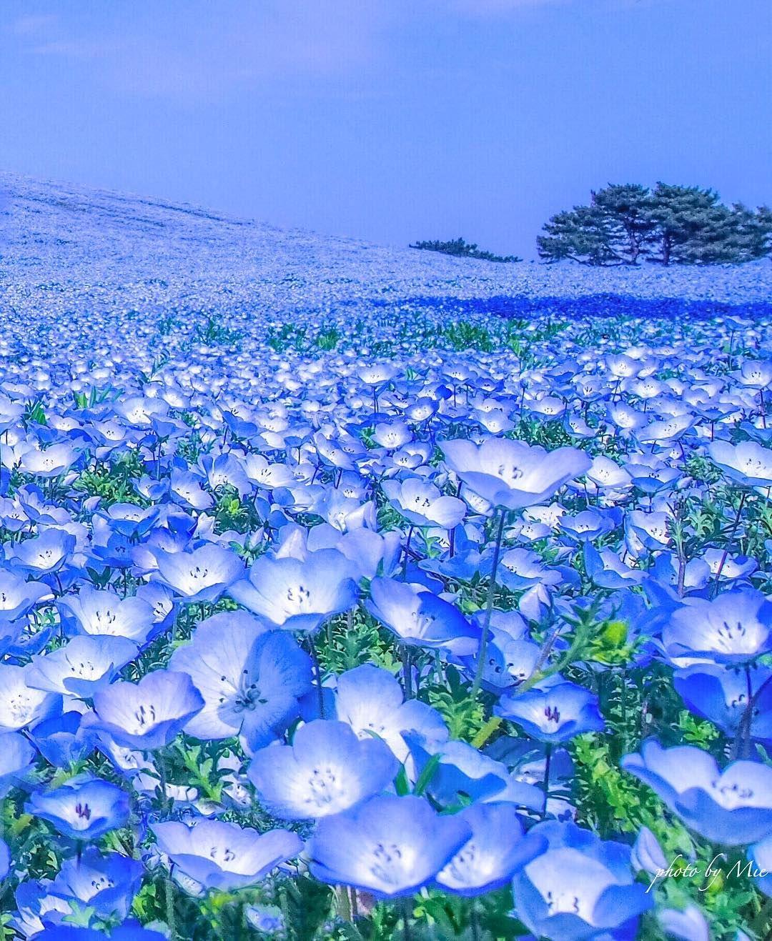 Blue Hill Nemophila Hitachi Seaside Park Japan By