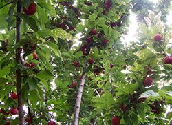 Fruit trees that do well in Colorado. Apples, peaches, pears, apricots,  cherries, and plums,  to name a few