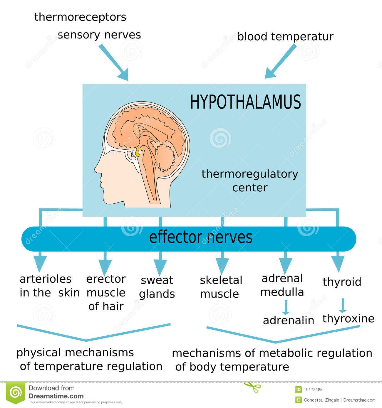 hypothalamus temperature regulation physical vs metabolic regulation of body temperature are. Black Bedroom Furniture Sets. Home Design Ideas