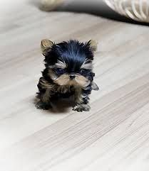 Micro Teacup Pomeranian Google Search Cute Baby Animals