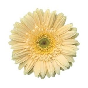 Google image result for httppolyvorecgiimg thing3fout love the pale yellow gerber daisy mightylinksfo Choice Image