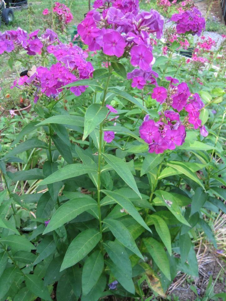 Powdery Mildew Remedies for Plants Plants, Powdery