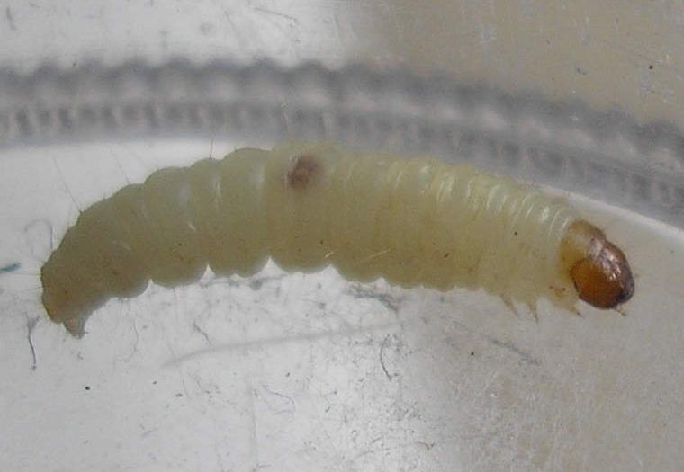 How to get rid of maggot infestation easy fast