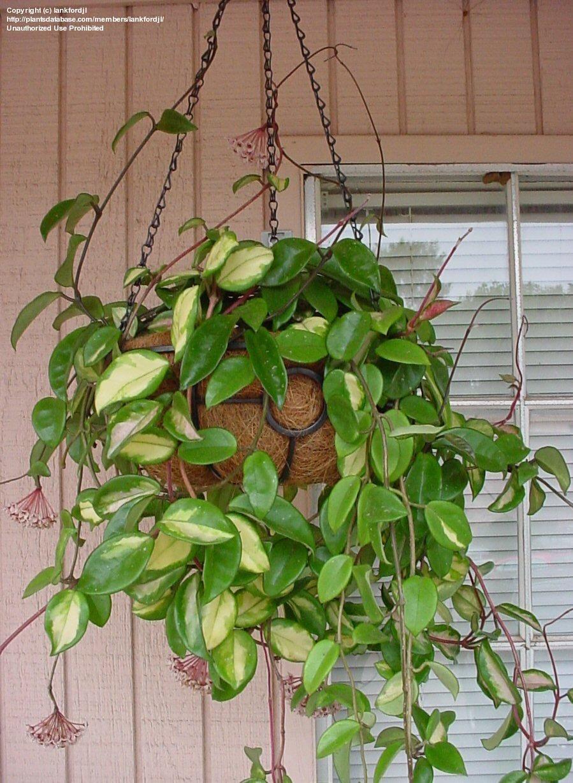hanging houseplant hoya carnosa just favorites. Black Bedroom Furniture Sets. Home Design Ideas