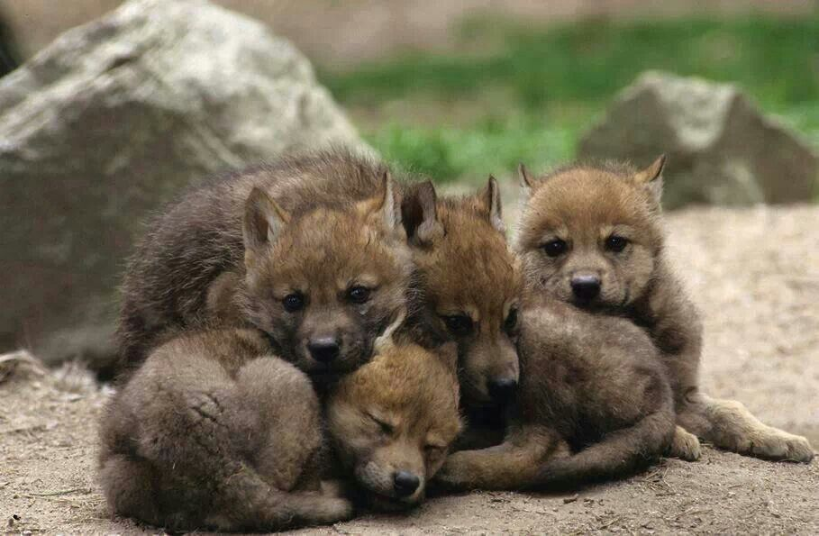 Pile of cute wolf pups | Puppies - 112.3KB