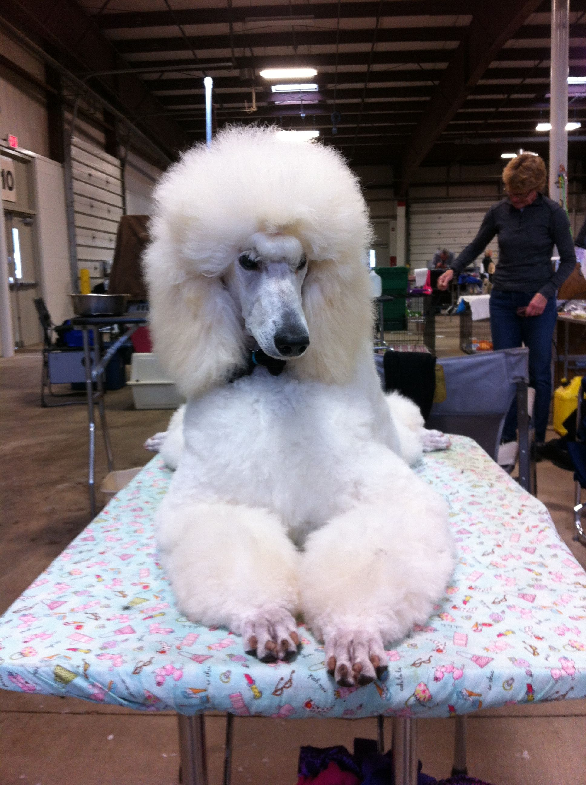 White Standard Poodle Glee Getting Ready For Show Poodle Dog