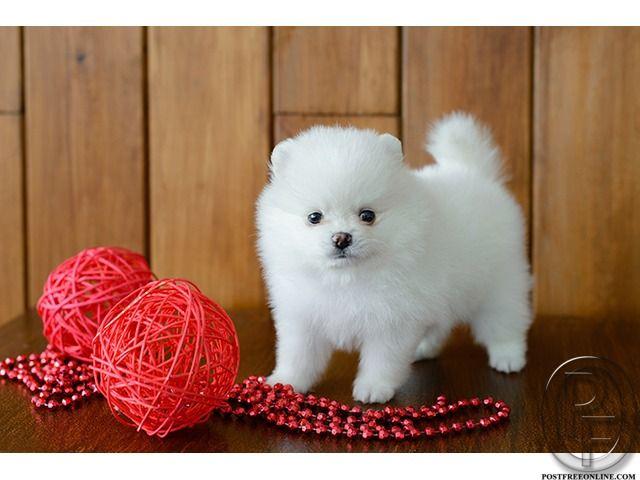 Looking For Small Pomeranian Dog Puppy In Mumbai Maharashtra India In Pet Animals And Accessories Category Under Budg Pomeranian Puppy Pomeranian Dog Puppies