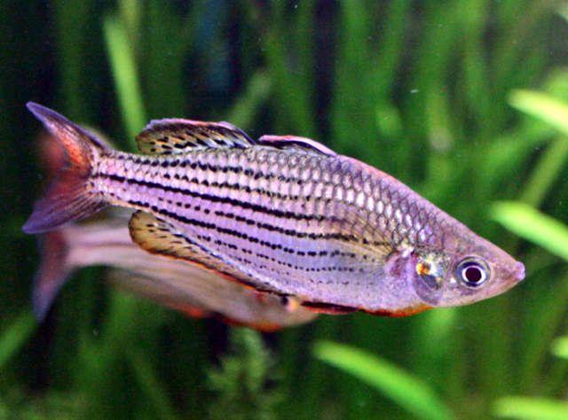 Macculloch s rainbowfish genus melanotaenia species m for Rainbow fish care