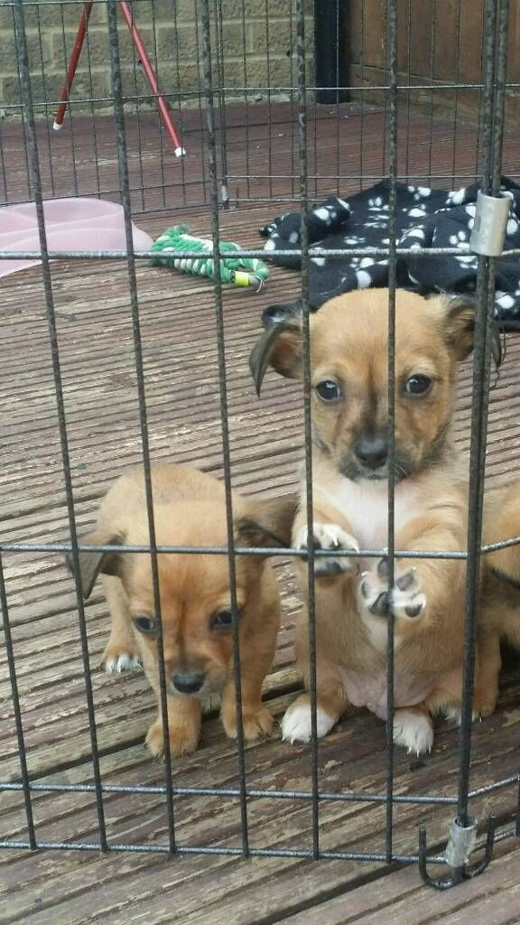 Jack Dash Puppies In Maidstone Kent Gumtree Puppies Jack Russell Doggy