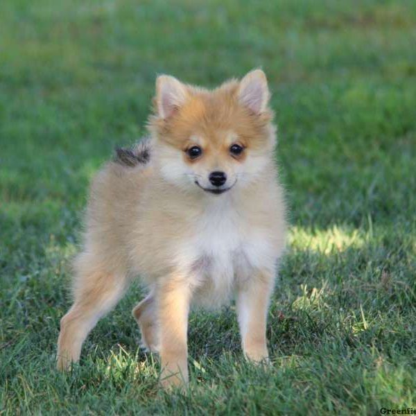 Pomchi Puppies For Sale Pomchi Dog Breed Profile Pomchi