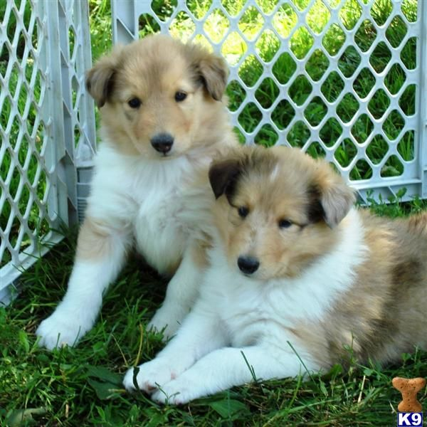 I Want A Collie Puppy I Really Hope My Dog Is Pregnant So I