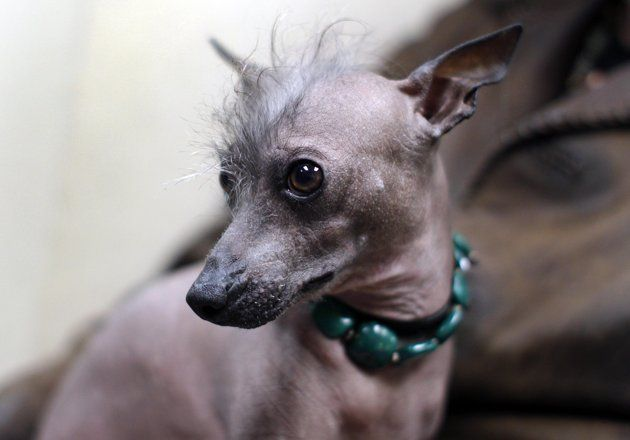 Alma Dulce A Two Year Old Xoloitzcuintli Or Mexican Hairless Dog In Westminister Dog Show Dog Breeds Mexican Hairless Dog Hairless Dog