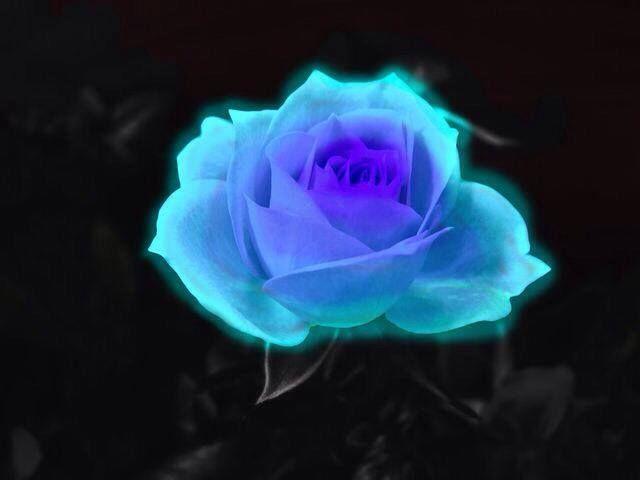 Pin By Janet Bradbury On Colours Blue Roses Wallpaper Rose Flower Wallpaper Blue Rose Tattoos