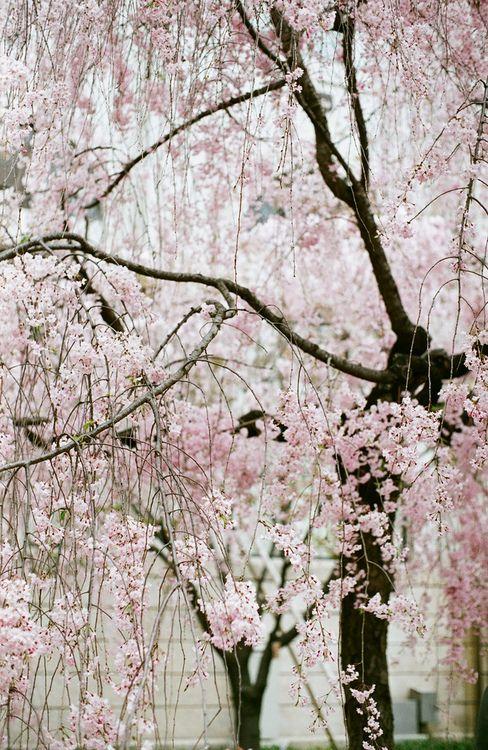 Sakura Flowering Trees Garden Of Earthly Delights Blossom
