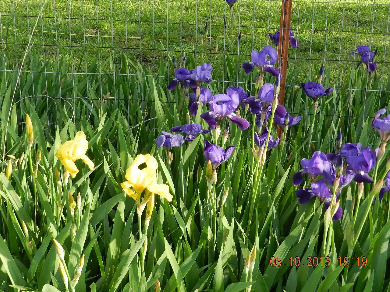 My first iris blooms of spring 2013autiful 3 gods iris my first iris blooms izmirmasajfo