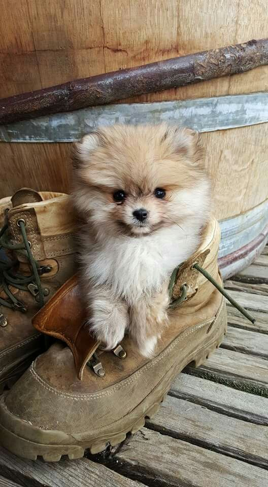 17 Best images about Pomeranian Puppies Pics on Pinterest | Doggies, Pomeranian dogs and Teacup pomeranian - Tap the pin for the most adorable pawtastic fur baby apparel! You'll love the dog clothes and cat clothes! <3