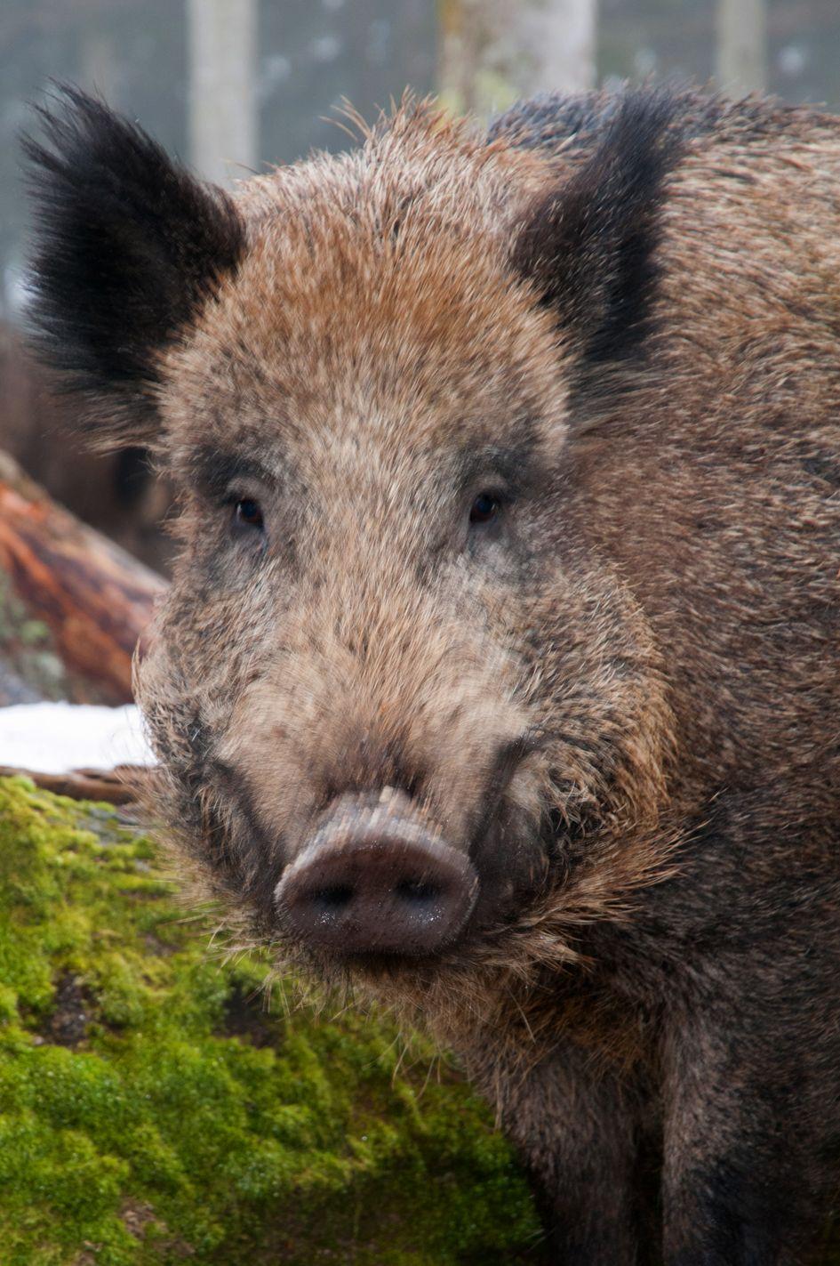 Bayerischer Wald, wild zwijn Bayern Forest, Germany, wild boar