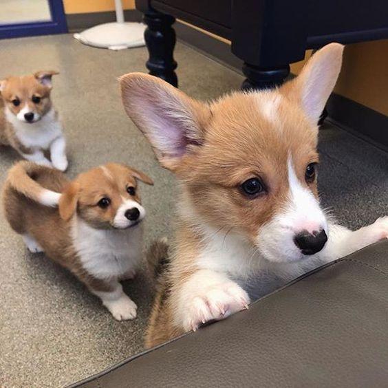 Cute Corgi Puppy Cute Corgi Puppies Funny Corgi Puppy Funny Corgi Puppies Cute Corgi Puppy Love Cute Corgi Pu Cute Dog Pictures Funny Dog Pictures Dog Pictures
