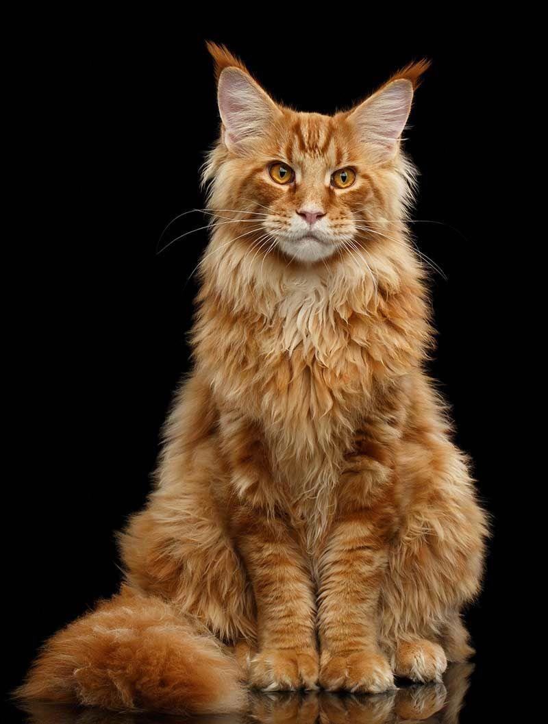 Orange Tabby Cat Fascinating Facts About Orange Cats Orange