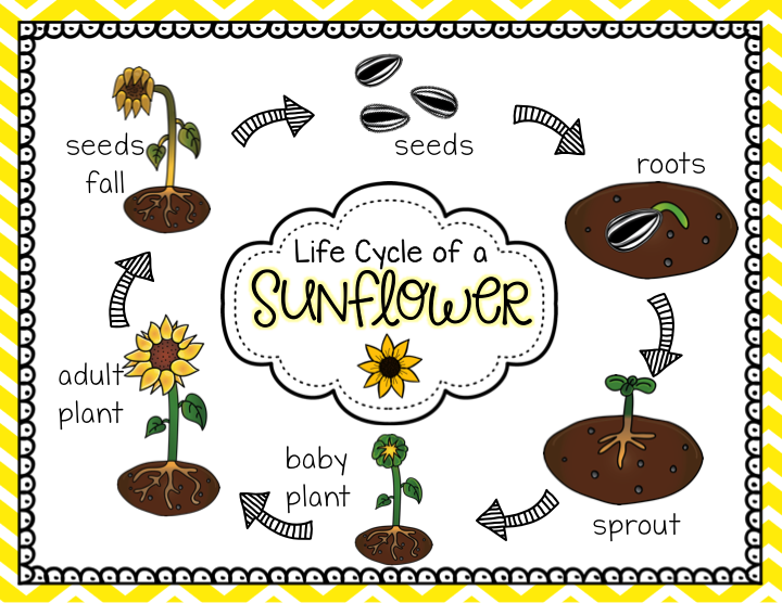 life cycle of a sunflower | Teaching | Planting sunflowers ...