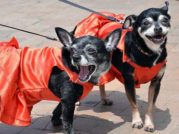 Photos Dressed Up Chihuahuas Celebrate Cinco De Mayo Dog Poses Chihuahua Dogs Chihuahua