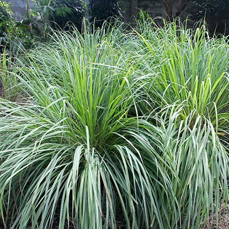 Lemon Grass Plant Cymbopogon Citratus Lemongrass Plant Ornamental Grasses Lemon Grass