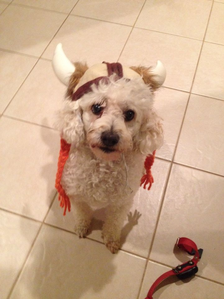 """Beauford """"Ragnar"""" the viking poodle <3"""