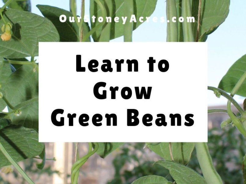 How To Grow Green Beans In Your Garden Our Stoney Acres Growing Green Beans Seedlings Growing Beans