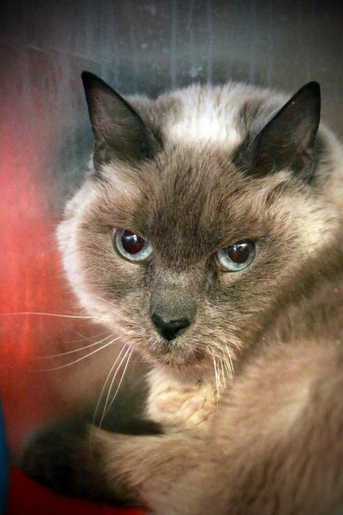 Adopt Kissa On Petfinder Cat Adoption Cats And Kittens Pets