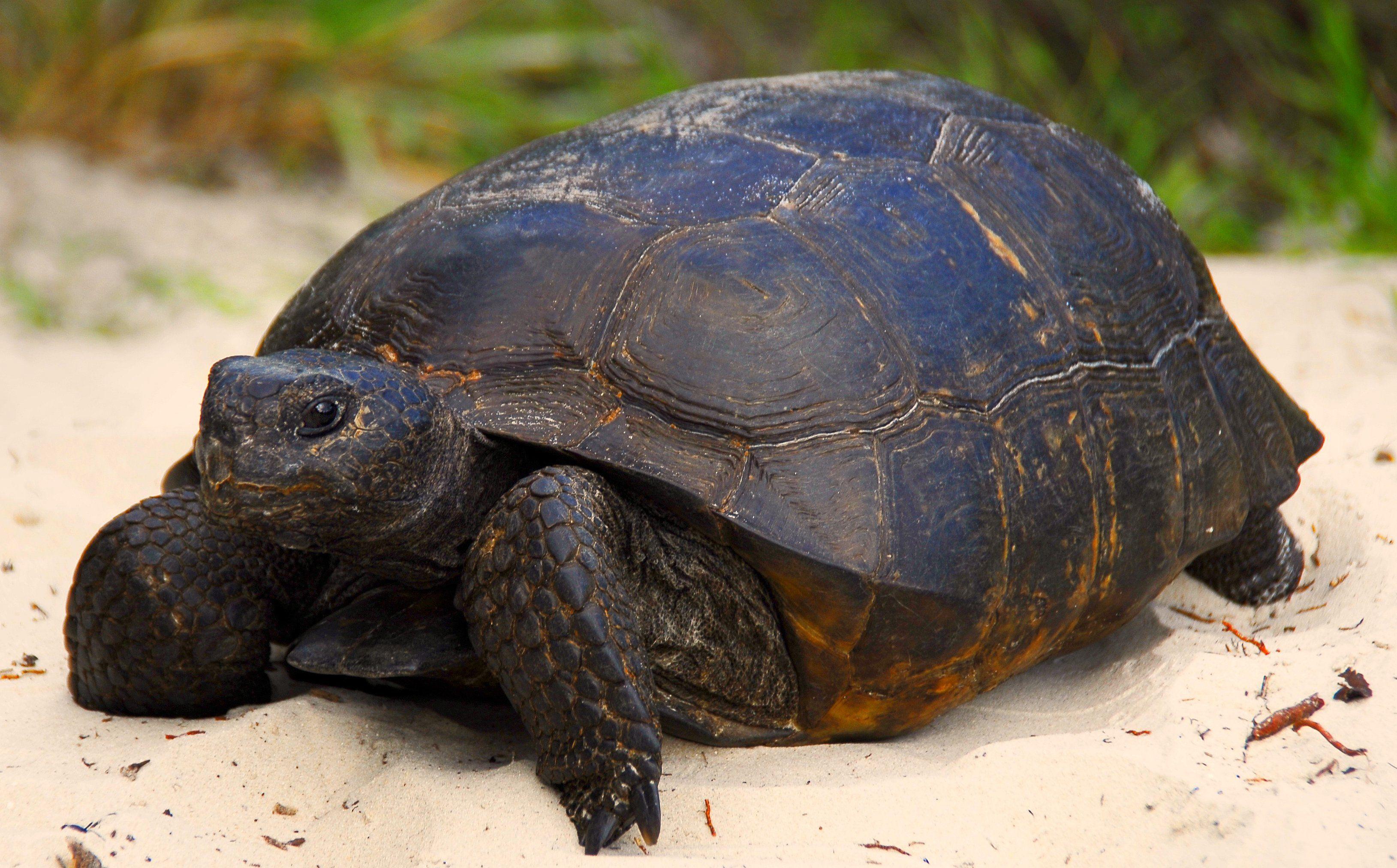 Gopher tortoise gopherus polyphemus turtle challenge pinterest