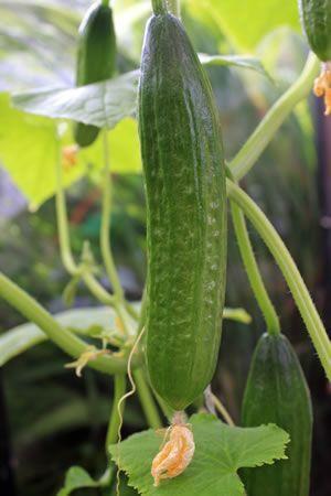 Junge Gurkenpflanze Gurkenpflanze Gewachshaus Pflanzen Pflanzen
