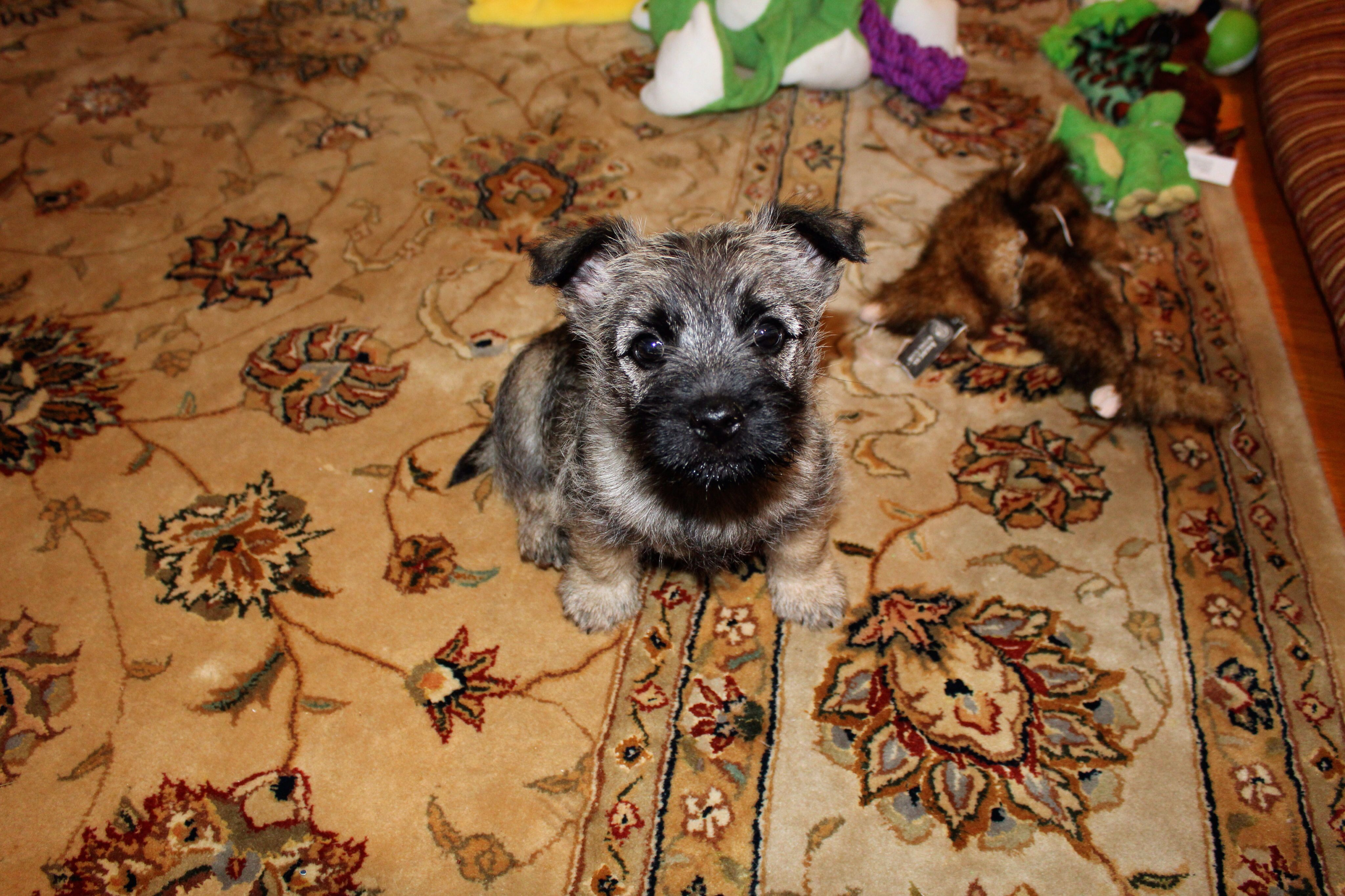 Fingal 8 Week Old Cairn Amongst His New Toys In His New Home