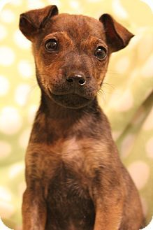 Hagerstown Md Chihuahua Dachshund Mix Meet Lucy A Puppy For