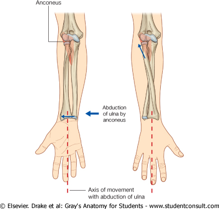 Anconeus is a small, triangular muscle posterior to the elbow joint ...