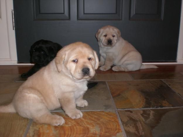 Love It And Soooo Does Katie 3 Lab Puppies Labrador Retriever Labrador Retriever Puppies
