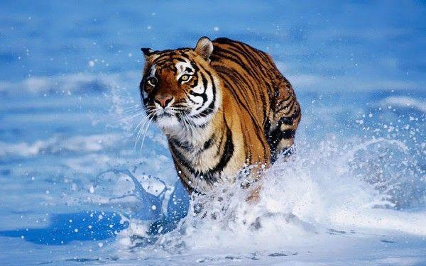 Groundbreaking Zero Poaching Push Unites Asian Countries Tiger Attack Tiger Wallpaper Tiger In Water