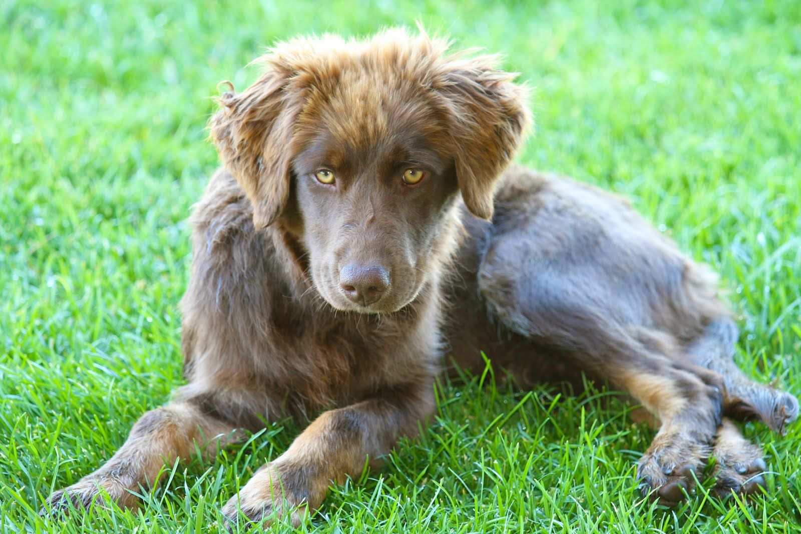 Chocolate Aussiedor Chocolate Lab Australian Shepherd